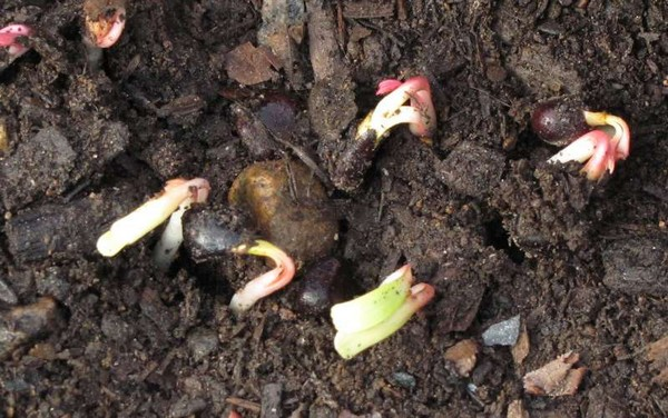 Ростки пиона из семян