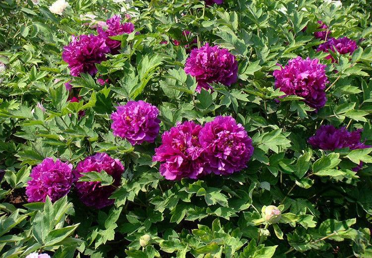 Куст с фиолетовыми цветами