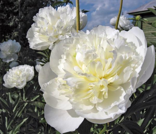 Белоснежные цветы