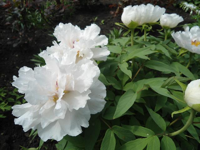Полумахровый белый пион