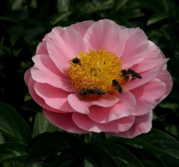 Цветок с розовыми лепестками