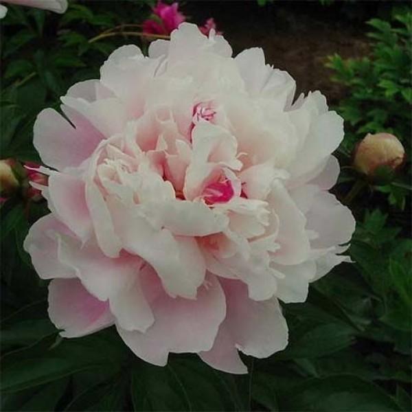 Бело-розовый махровый пион