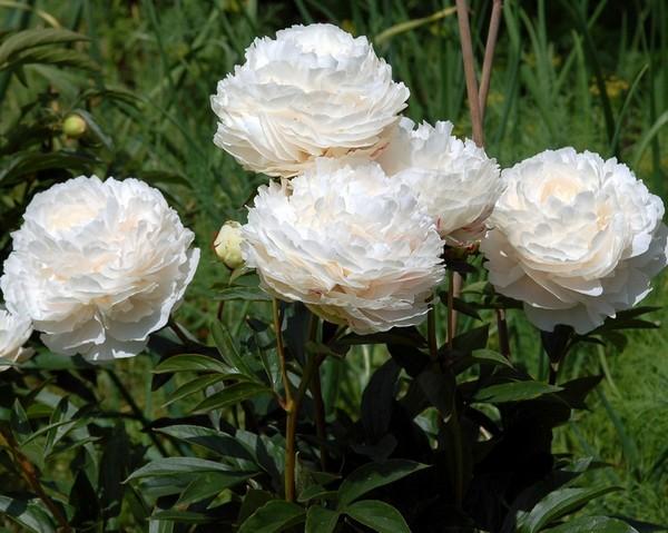 Пышные цветы