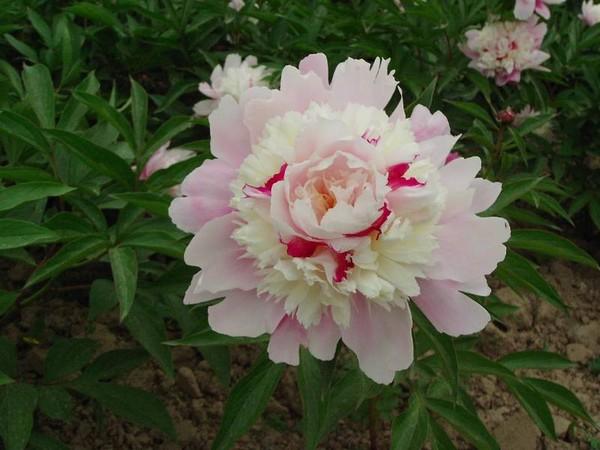 Бледно-розовый пион с малиновыми вкраплениями