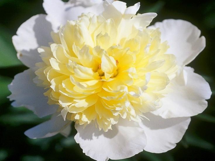 Желто-белый цветок