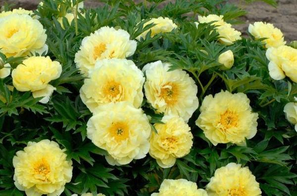 Бурное цветение пионов