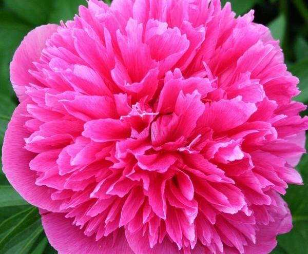 Насыщенно-розовый цветок