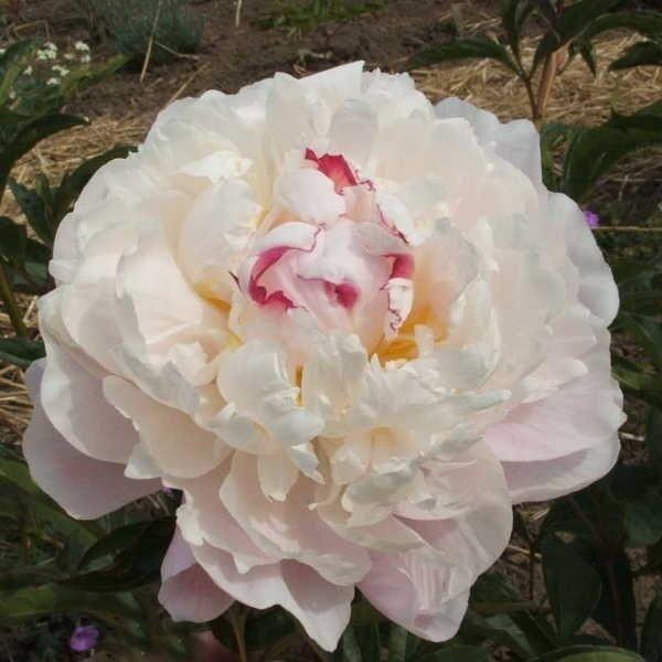 Жемчужно-розовый пион