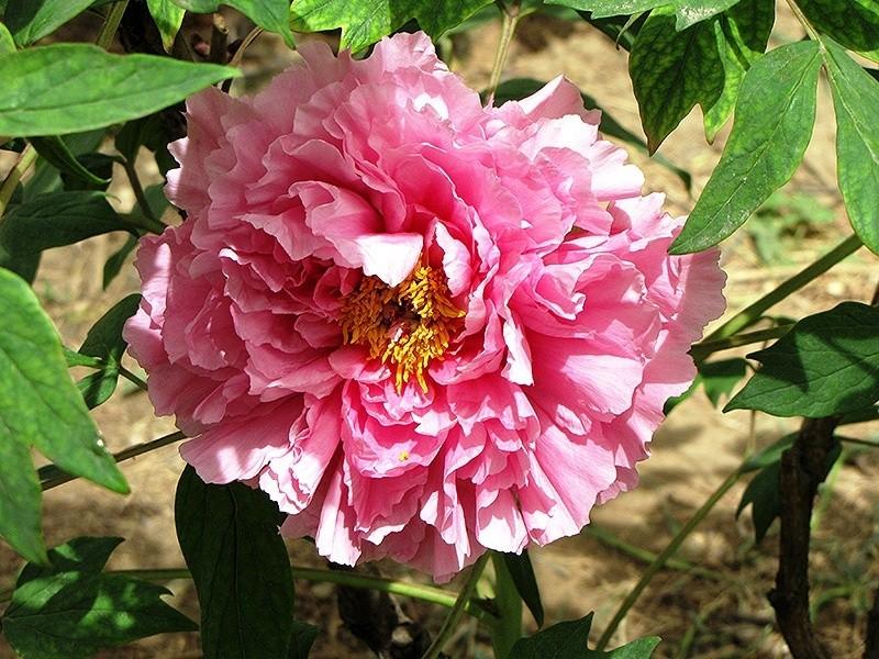 Розовое пышное соцветие