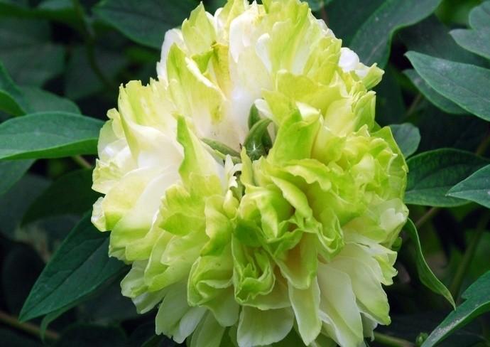 Бледно-зеленый цветок