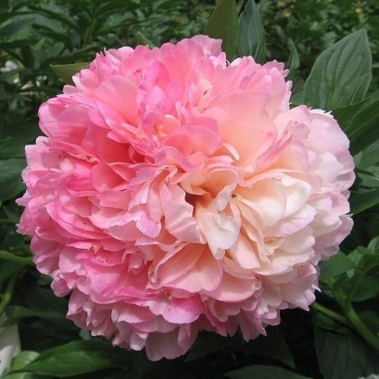 Махровое светло-розовое соцветие