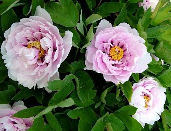 Сипеневые цветы