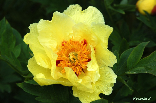 Бледно-желтый цветок
