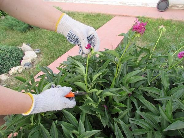 Срез увядших цветков