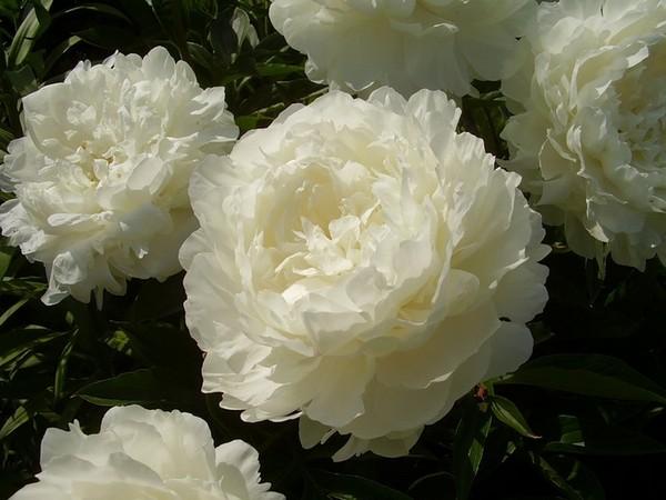 Нежные белоснежные соцветия