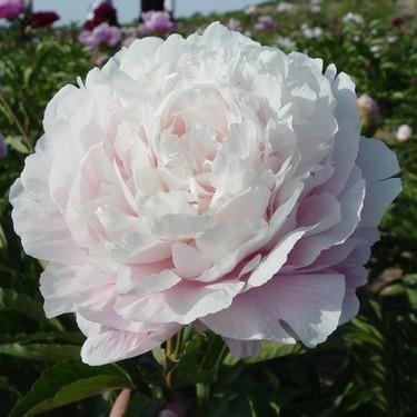 Бледно-розовый пион