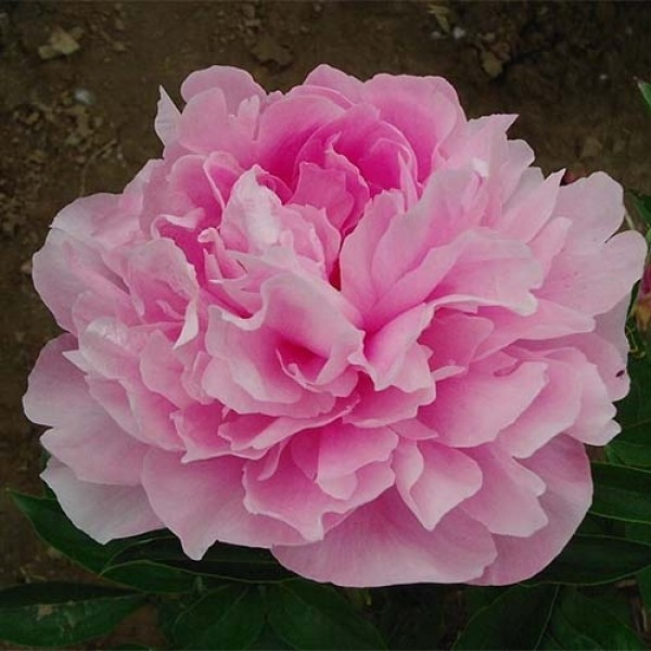 Розовый пышный цветок