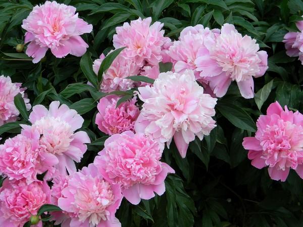 Розовые махровые шары пионов