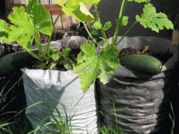 Способ выращивания кабачков
