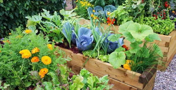 Цветы соседствуют с овощами