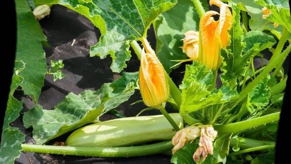 Кабачок - пустоцветы и плоды