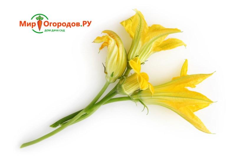 Цветы кабачков