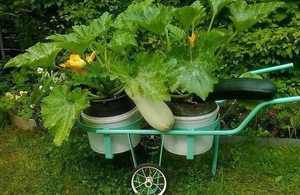 Способ выращивать кабачки