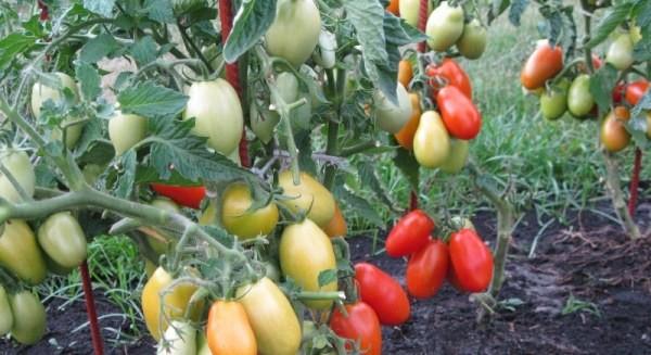 Сливовидные томаты на кустах