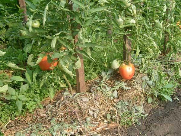 Куст томатов