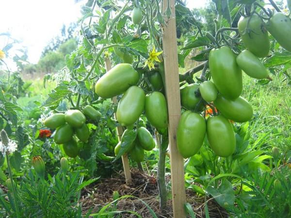 Куст зеленых помидоров