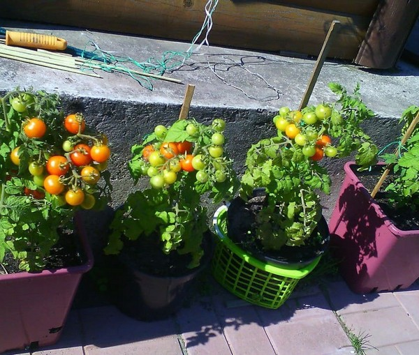 Кусты томатов в горшках