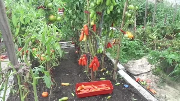 Продолговатые плоты томата