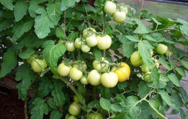Урожайный куст томатов