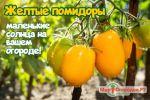 желтые томаты черри