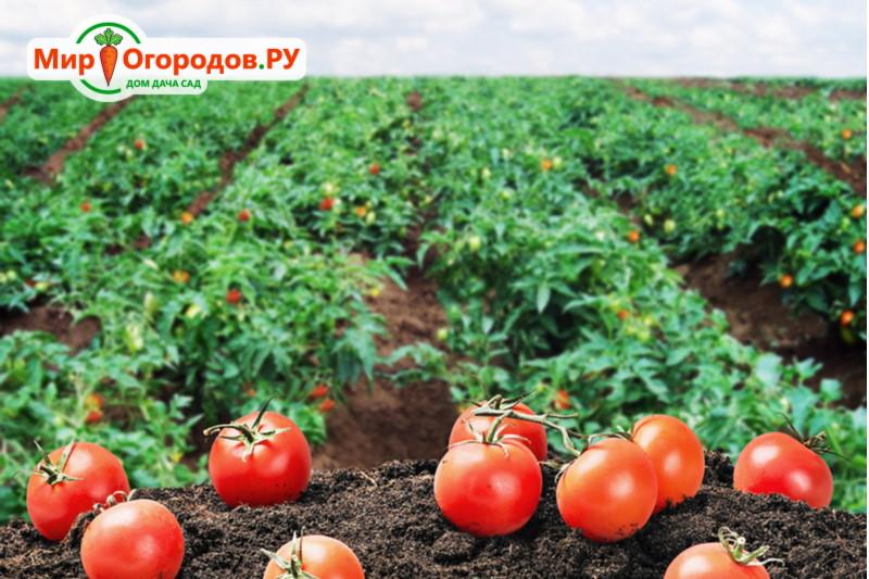 сорта помидоров для открытого грунта